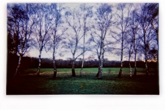 Line of Silver Birches