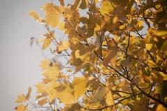 Autumn Gold #1