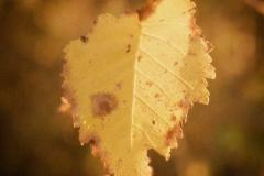Autumn Gold #2