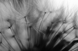 Dandelion Study #2