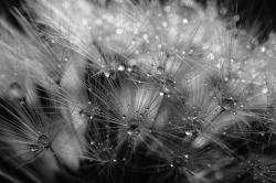 Dandelion Study #4