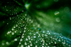 Leaf Droplets #3