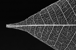 Leaf Skeleton #1