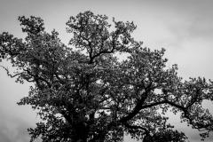 Autumnal Oak